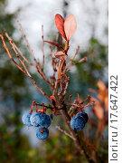 Купить «Late Blueberry», фото № 17647422, снято 5 июля 2020 г. (c) easy Fotostock / Фотобанк Лори