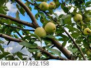 Купить «Яблоки на ветке. Сорт Антоновка», фото № 17692158, снято 16 августа 2015 г. (c) Юрий Карачев / Фотобанк Лори