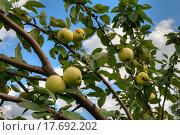 Купить «Яблоки на ветке. Сорт Антоновка», фото № 17692202, снято 16 августа 2015 г. (c) Юрий Карачев / Фотобанк Лори