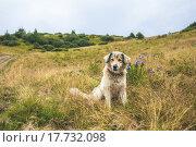 Пес сидит в осеннем поле в горах. Стоковое фото, фотограф Владислав Кищенко / Фотобанк Лори