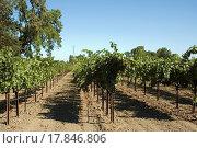 Купить «grapevines», фото № 17846806, снято 18 ноября 2017 г. (c) easy Fotostock / Фотобанк Лори