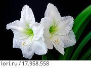 Купить «Amaryllis 04», фото № 17958558, снято 5 июня 2020 г. (c) easy Fotostock / Фотобанк Лори