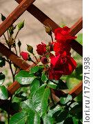 Купить «Rose 26», фото № 17971938, снято 22 сентября 2019 г. (c) easy Fotostock / Фотобанк Лори