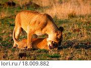 Купить «Lioness reproaching cub n.2», фото № 18009882, снято 15 ноября 2018 г. (c) easy Fotostock / Фотобанк Лори