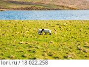 Купить «Islay sheep», фото № 18022258, снято 19 февраля 2019 г. (c) easy Fotostock / Фотобанк Лори