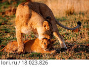 Купить «Lioness reproaching cub n.1», фото № 18023826, снято 15 ноября 2018 г. (c) easy Fotostock / Фотобанк Лори