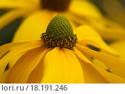 Купить «Yellow Coneflower», фото № 18191246, снято 9 июля 2020 г. (c) easy Fotostock / Фотобанк Лори