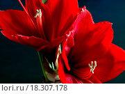 Купить «Red amaryllis», фото № 18307178, снято 27 мая 2019 г. (c) easy Fotostock / Фотобанк Лори