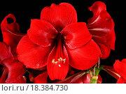Купить «Amaryllidaceae», фото № 18384730, снято 18 февраля 2019 г. (c) easy Fotostock / Фотобанк Лори