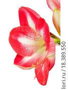 Купить «Close up of an amaryllis flower», фото № 18389550, снято 31 мая 2020 г. (c) easy Fotostock / Фотобанк Лори