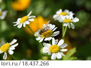 Пчела на ромашке. Стоковое фото, фотограф Алексей Наумов / Фотобанк Лори