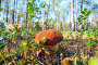 Гриб боровик на солнечной лесной поляне, фото № 18614858, снято 16 августа 2015 г. (c) Алексей Маринченко / Фотобанк Лори