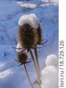 Сухой чертополох в снегу. Стоковое фото, фотограф Александр Сосюра / Фотобанк Лори