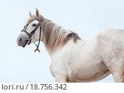 Купить «Tersk stallion», фото № 18756342, снято 25 августа 2019 г. (c) easy Fotostock / Фотобанк Лори
