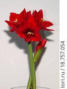 Купить «Red amaryllis», фото № 18757054, снято 27 мая 2019 г. (c) easy Fotostock / Фотобанк Лори