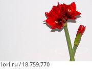 Купить «Red amaryllis greeting card», фото № 18759770, снято 27 мая 2019 г. (c) easy Fotostock / Фотобанк Лори