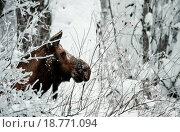 Купить «Winter Portrait of an moose.», фото № 18771094, снято 24 августа 2019 г. (c) easy Fotostock / Фотобанк Лори