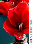 Купить «Red amaryllis», фото № 18831978, снято 27 мая 2019 г. (c) easy Fotostock / Фотобанк Лори