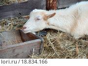 Купить «Goat in the barn», фото № 18834166, снято 19 февраля 2019 г. (c) easy Fotostock / Фотобанк Лори