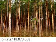 Купить «High pine_trees», фото № 18873058, снято 16 октября 2018 г. (c) easy Fotostock / Фотобанк Лори