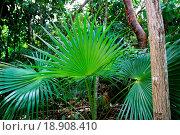 Купить «chit palm tree in jungle rainforest in Mayan Riviera», фото № 18908410, снято 18 ноября 2019 г. (c) easy Fotostock / Фотобанк Лори