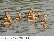 Купить «Birds ; Lesser Whistling-ducks dendrocygna javanica ; Santragachi ; West Bengal ; India», фото № 19029414, снято 10 апреля 2020 г. (c) easy Fotostock / Фотобанк Лори