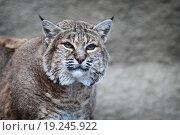 Красная или Северо-Американская рысь. Стоковое фото, фотограф Дмитрий Неумоин / Фотобанк Лори