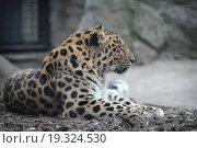 Купить «Дальневосточный леопард в зоопарке, взрослая особь», эксклюзивное фото № 19324530, снято 29 декабря 2015 г. (c) Дмитрий Неумоин / Фотобанк Лори