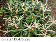 Купить «Rhododendron ponticum is a dense, suckering shrub or small tree native to southern Europe and southwest Asia.», фото № 19475226, снято 13 октября 2019 г. (c) easy Fotostock / Фотобанк Лори