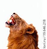 Купить «Lion isolated on white», фото № 19646218, снято 16 августа 2018 г. (c) easy Fotostock / Фотобанк Лори