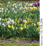 Купить «Нарциссы (Narcissus)», эксклюзивное фото № 19738294, снято 5 мая 2012 г. (c) Алёшина Оксана / Фотобанк Лори