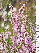Цветущий миндаль степной (Prunus tenella) Стоковое фото, фотограф Алёшина Оксана / Фотобанк Лори