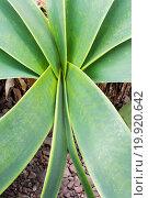 Купить «Amaryllis leaves abstract», фото № 19920642, снято 31 мая 2020 г. (c) easy Fotostock / Фотобанк Лори