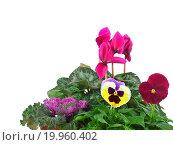 Купить «Group of seedlings, ornamenta cabbage, cyclamen, kalanchoe blossfeldiana and Pansy», фото № 19960402, снято 26 ноября 2011 г. (c) easy Fotostock / Фотобанк Лори