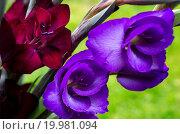 Купить «Opening flowers of burgundy -crimson and purple Gl», фото № 19981094, снято 18 ноября 2018 г. (c) easy Fotostock / Фотобанк Лори