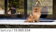 Купить «a little pomerian dog wait his padron on door at h», фото № 19989934, снято 18 августа 2019 г. (c) easy Fotostock / Фотобанк Лори