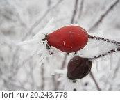 Шиповник. Стоковое фото, фотограф IGOR KVASIUK / Фотобанк Лори
