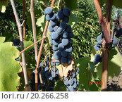 Спелый виноград на кусте. Стоковое фото, фотограф IGOR KVASIUK / Фотобанк Лори