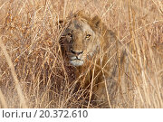 Купить «Wild lion in the African Savannah, Tanzania», фото № 20372610, снято 28 сентября 2012 г. (c) easy Fotostock / Фотобанк Лори