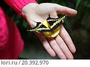 Woman holds in hand with lemon beautiful tropical butterfly. Стоковое фото, фотограф Losevsky Pavel / Фотобанк Лори