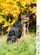 Купить «Close up view of the dobermann with lead is sitting on a grass in park.», фото № 20394770, снято 28 сентября 2014 г. (c) Losevsky Pavel / Фотобанк Лори