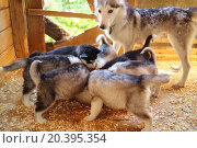 Купить «Siberian husky dog looking for seven puppy that eats», фото № 20395354, снято 5 июня 2014 г. (c) Losevsky Pavel / Фотобанк Лори