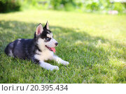 Купить «Little puppy husky lying on the green lawn», фото № 20395434, снято 5 июня 2014 г. (c) Losevsky Pavel / Фотобанк Лори