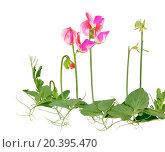 Купить «Душистый горошек  (Lathyrus odoratus)», фото № 20395470, снято 2 сентября 2015 г. (c) Надежда Нестерова / Фотобанк Лори