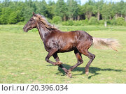 Купить «Beautiful brown horse running in a green field, motion blur», фото № 20396034, снято 8 июня 2014 г. (c) Losevsky Pavel / Фотобанк Лори