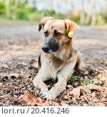 Купить «Дворовая собака лежит среди осенней листвы», эксклюзивное фото № 20416246, снято 1 октября 2015 г. (c) Игорь Низов / Фотобанк Лори