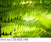 Купить «Sun shining through fern leaves in a rainforest in New Zealand», фото № 20429146, снято 22 января 2010 г. (c) easy Fotostock / Фотобанк Лори