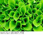 Купить «Green leaves close-up natural background», фото № 20437718, снято 21 мая 2011 г. (c) easy Fotostock / Фотобанк Лори