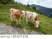 Купить «Cows grazing on the hillside», фото № 20477618, снято 21 мая 2019 г. (c) PantherMedia / Фотобанк Лори