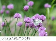 Белая бабочка сидит на цветке декоративного лука. Стоковое фото, фотограф Рушания Баженова / Фотобанк Лори